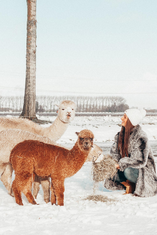 alpaca's in de sneeuw