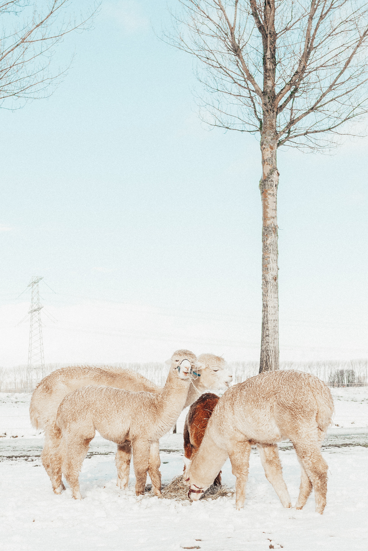 alpaca in the snow winter