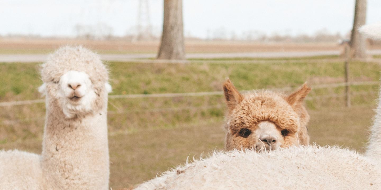 Linda's Wholesome Life Happy alpaca