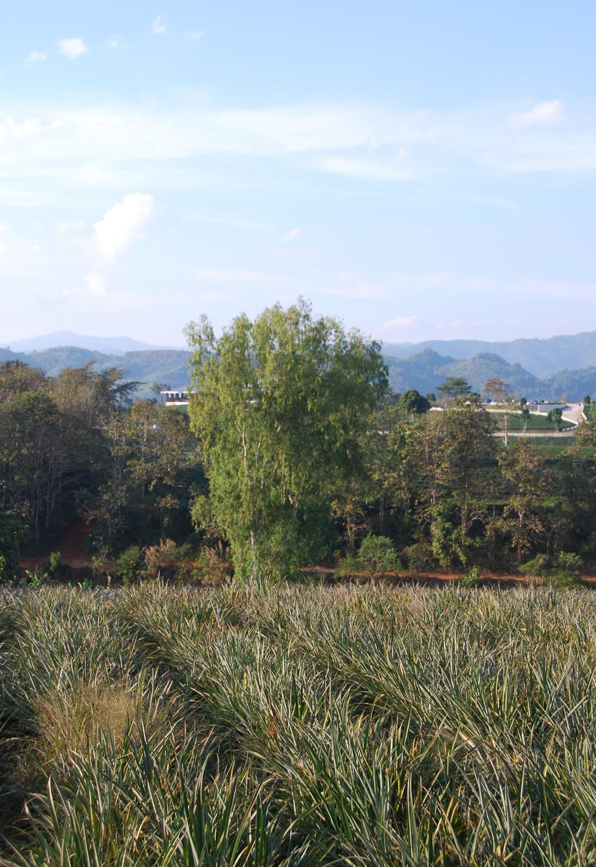 Choui Fong Tea Plantation Chiang Rai