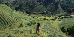 Ananas & Theeplantages | Chiang Rai