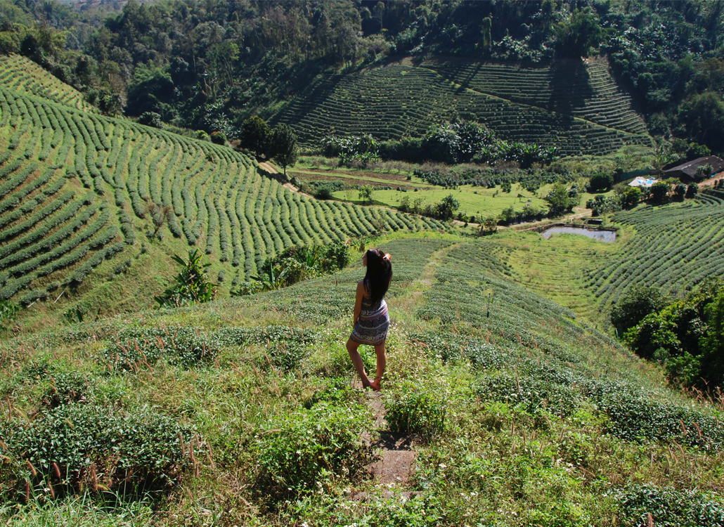 Thee plantage Tea Plantation Chiang Rai