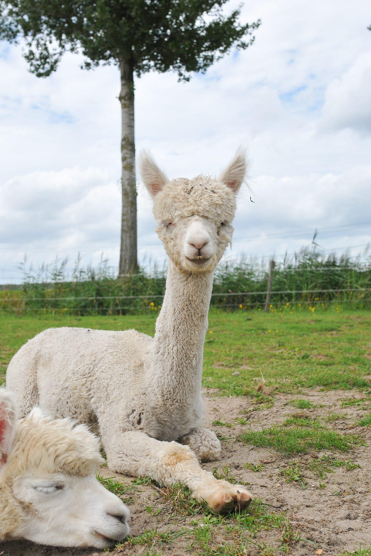 A day at the farm alpaca fluffy  alpaca's