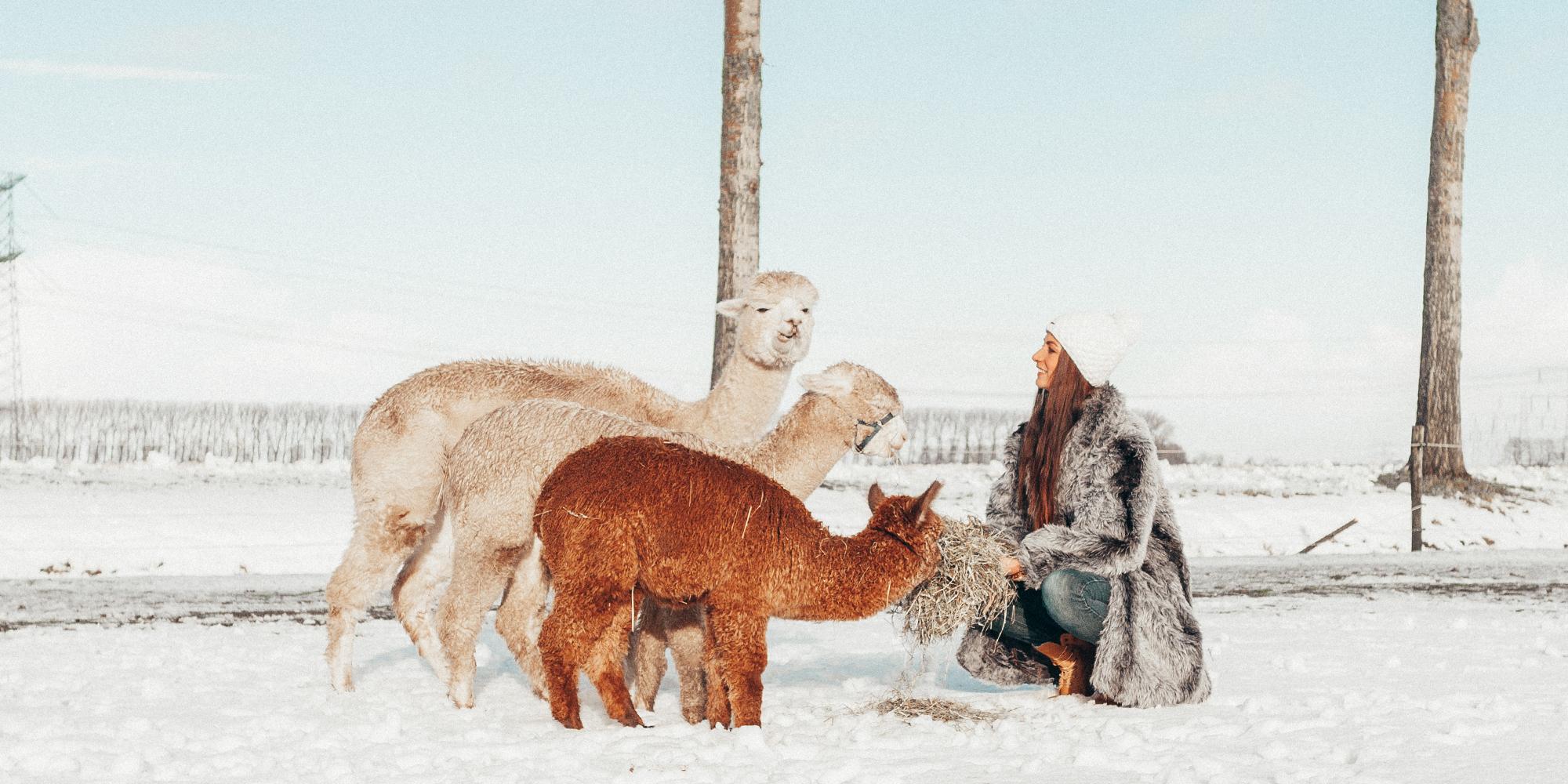 alpaca's in the snow winter