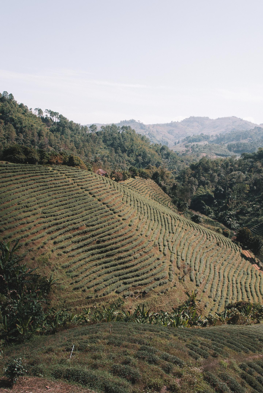 Chiang Rai Thailand tea thee plantage