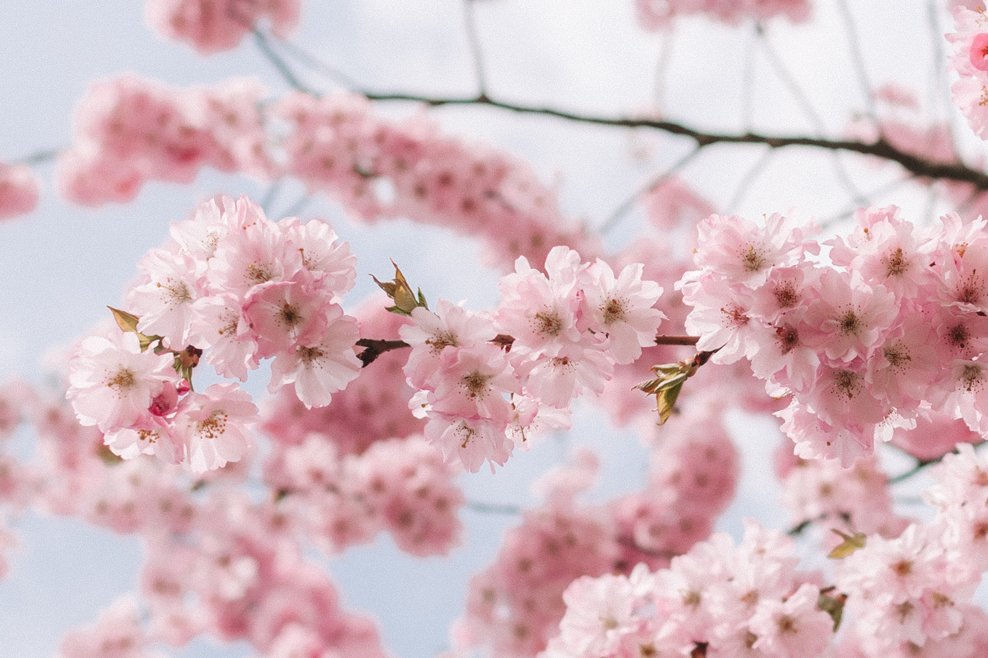 bloesem achtergrond, iPhone wallpapers blossom