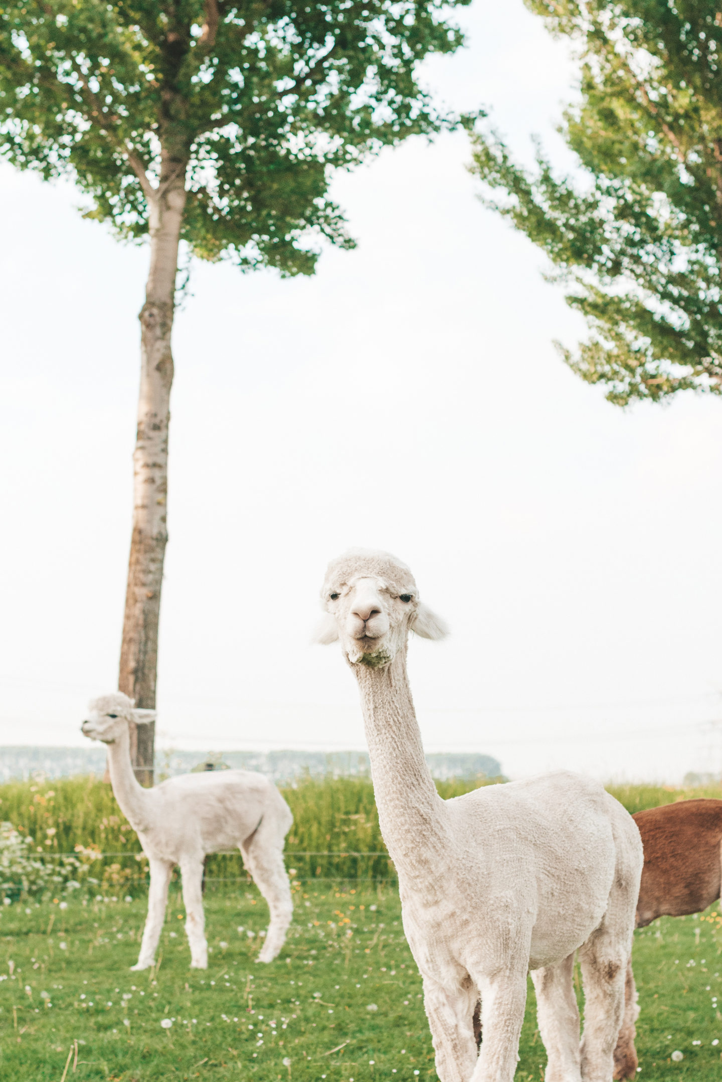 Alpaca Linda's Wholesome Life