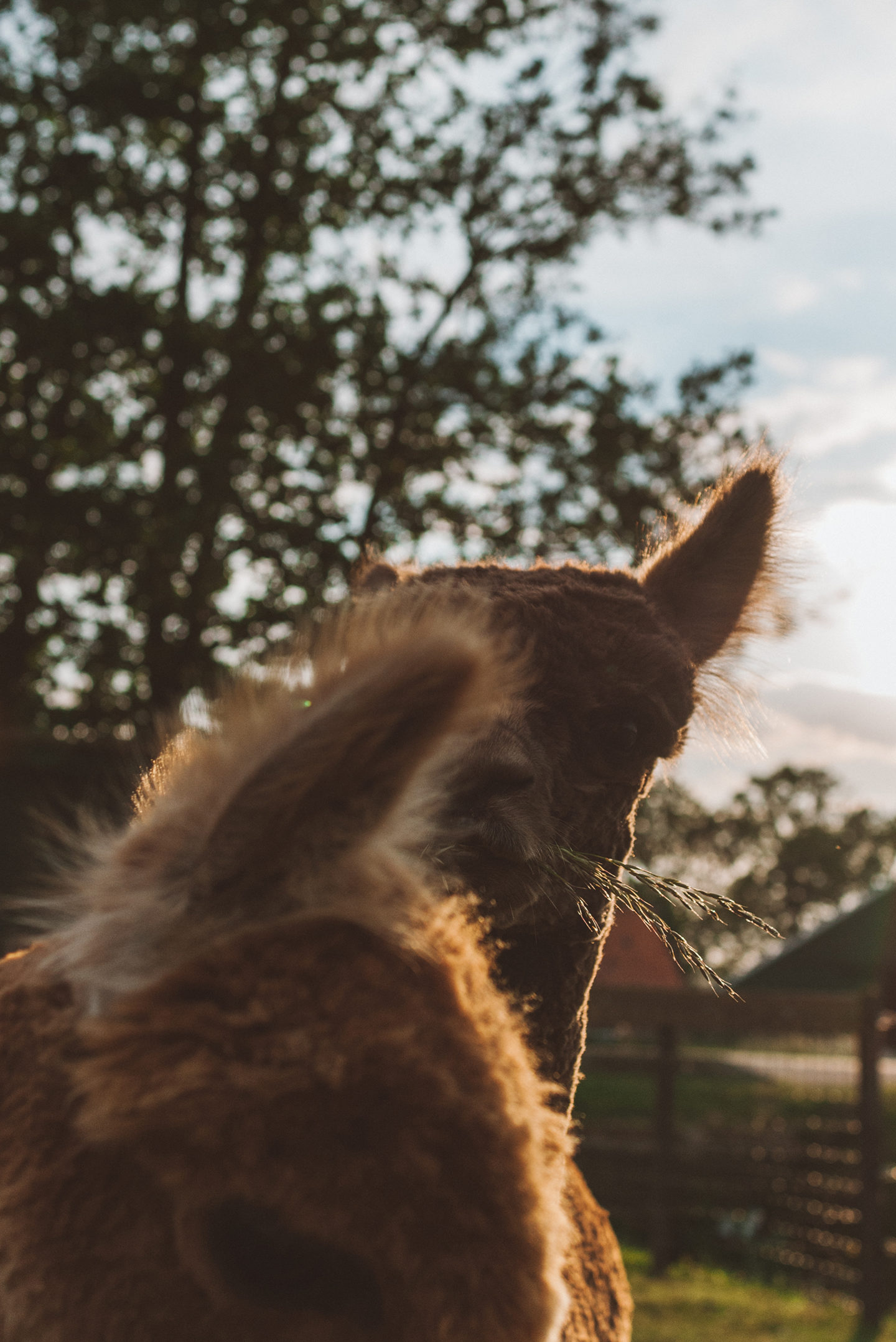 Alpaca Linda's Wholesome Life golden hour
