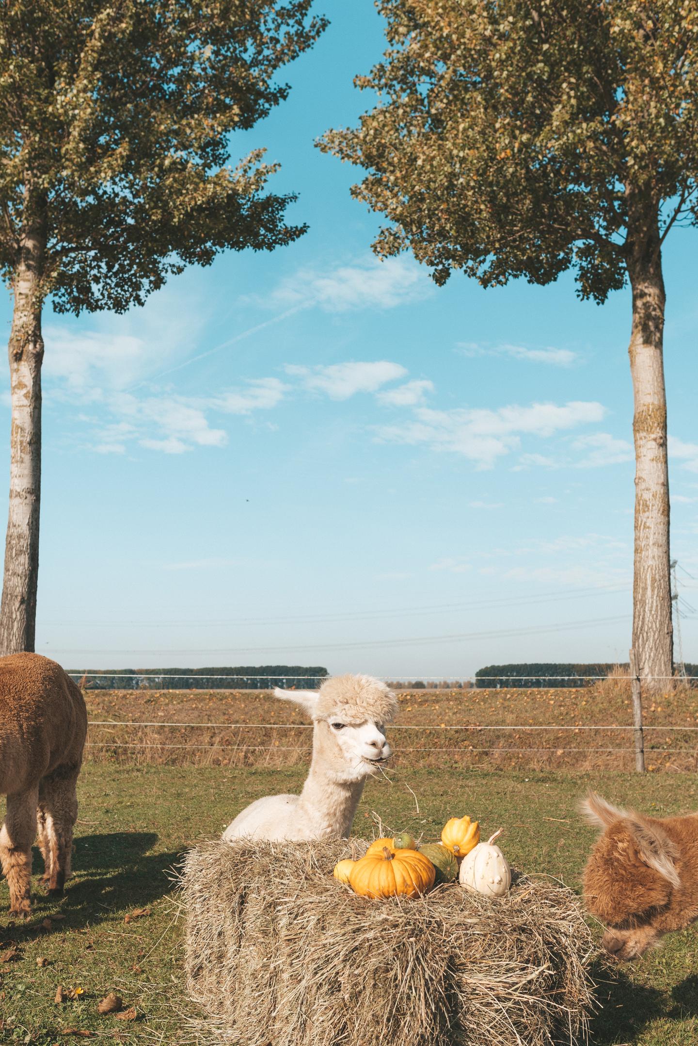 Alpaca's Linda's Wholesome Life herfst