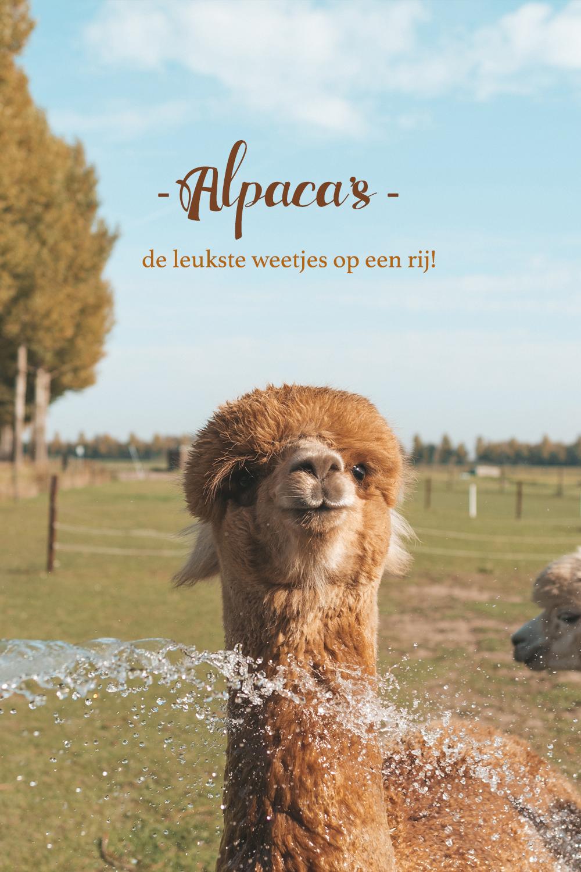Alpaca weetjes
