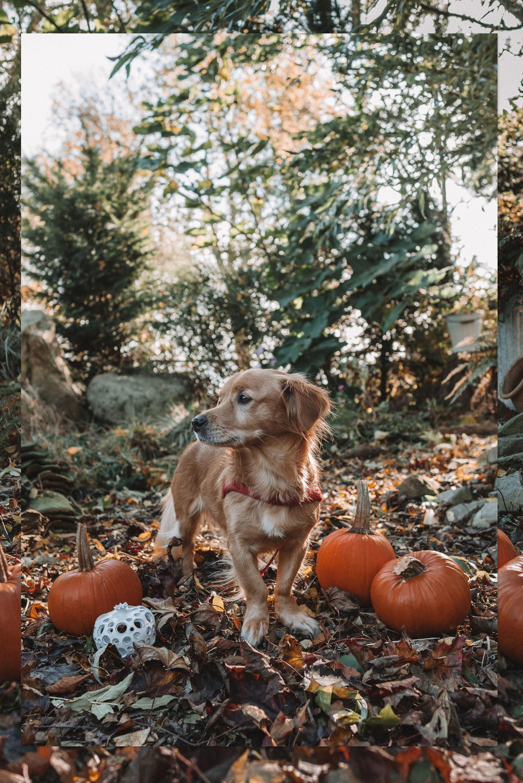 Halloween hond