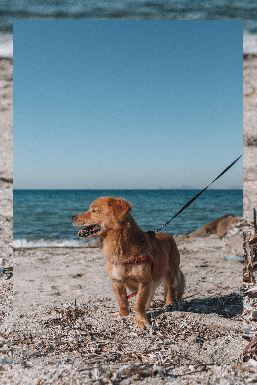 Kokoni hond Griekenland