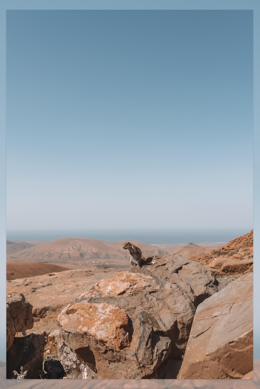 Fuerteventura eekhoorn