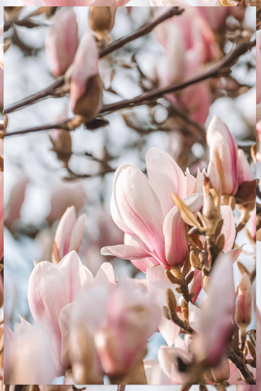 Magnolia Bloesem Lente wallpaper