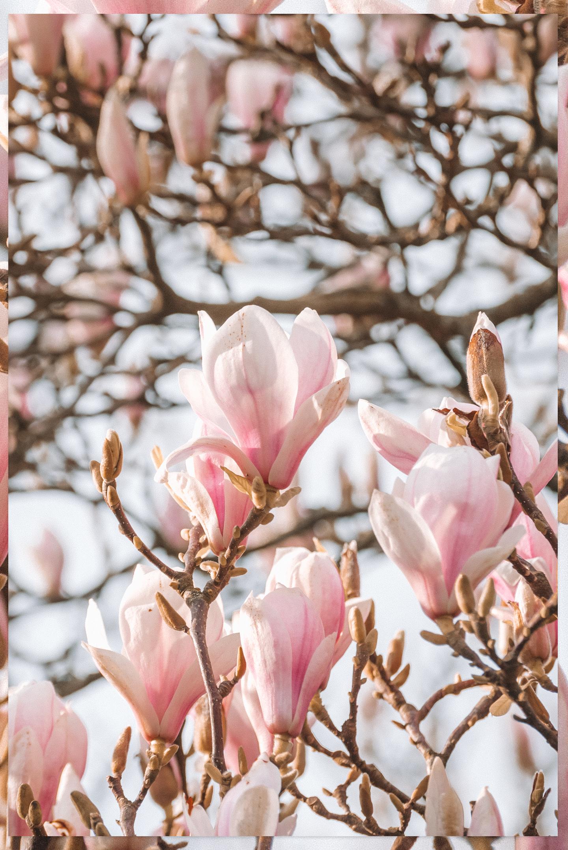 Magnolia Bloesem Lente