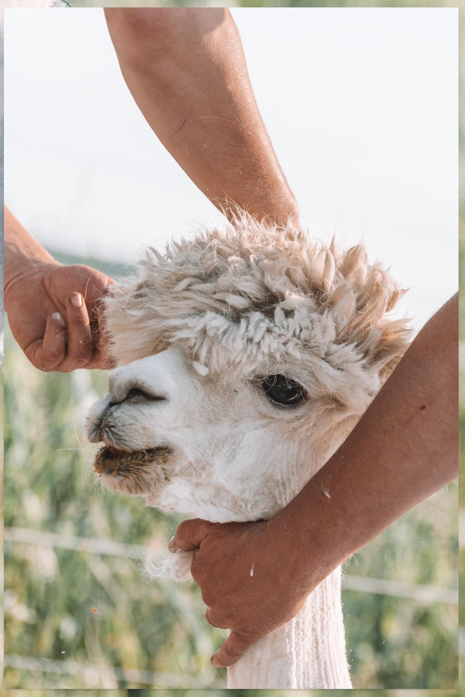 Alpaca's scheren