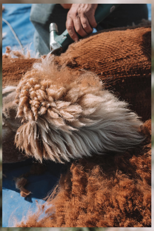 Alpaca's scheren staart