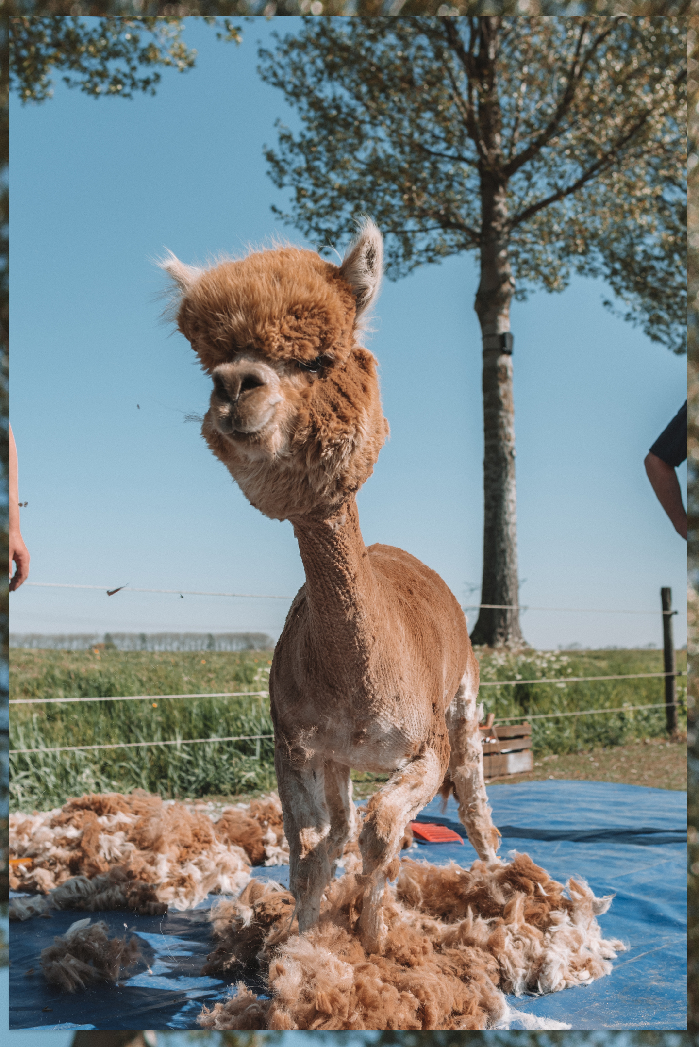 Alpaca's scheren Linda's Wholesome Farm