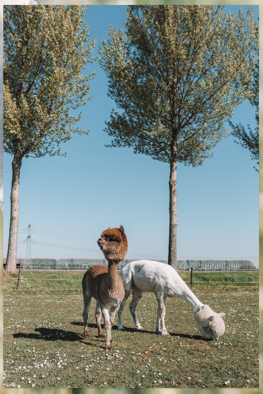 Alpaca's op de wei