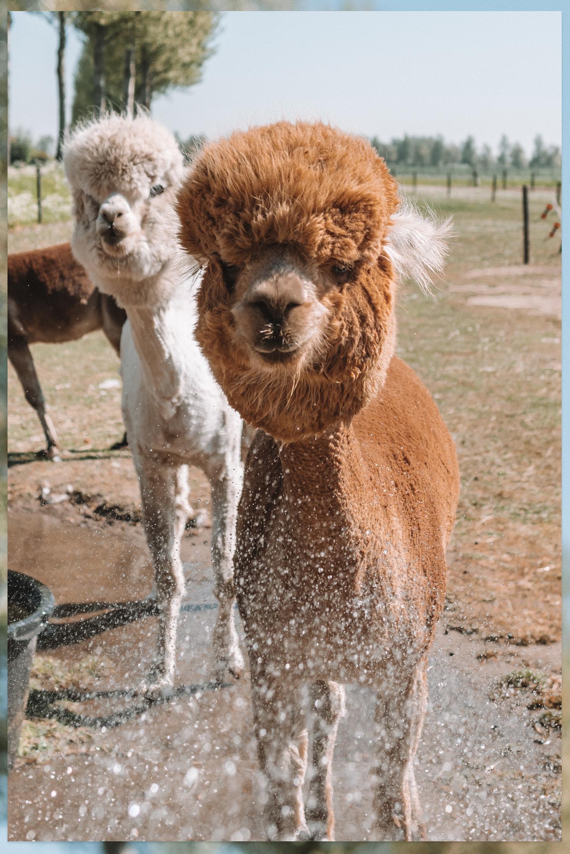 Alpaca douchen alpaca farm