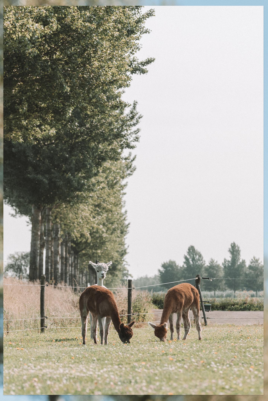 Alpaca voorjaar geschoren