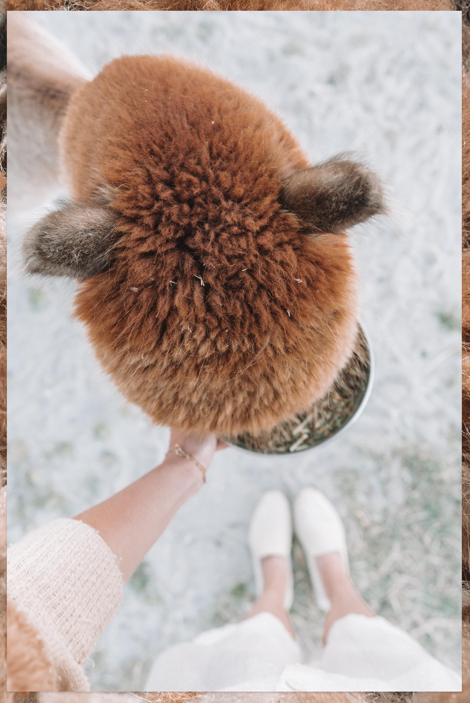 alpaca voeren