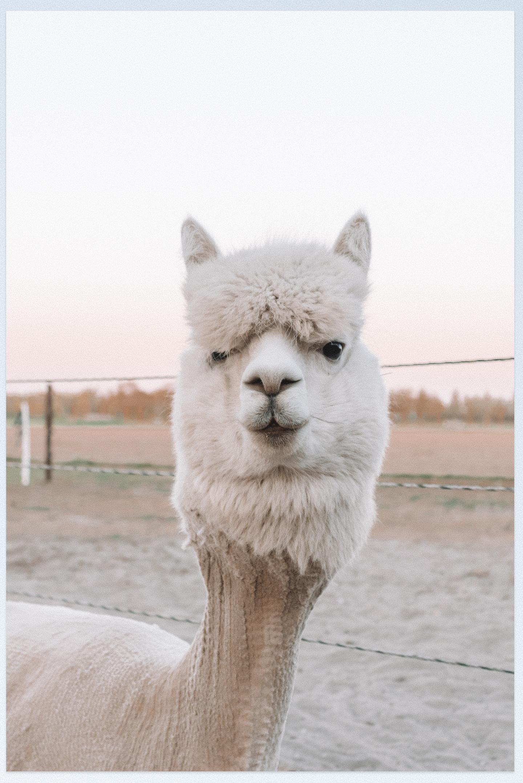 alpaca net geschoren