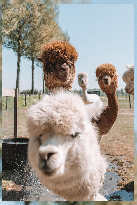 alpaca badderen