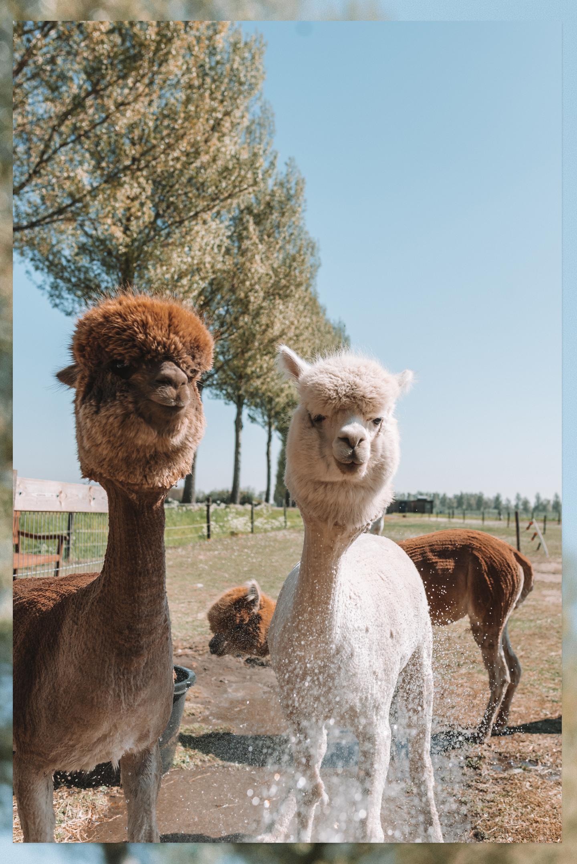 alpaca's badderen
