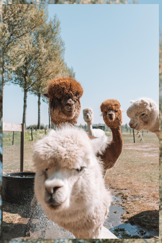 alpaca's scheren dit komt erbij kijken