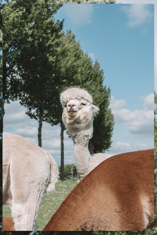 Alpaca postcard poster print