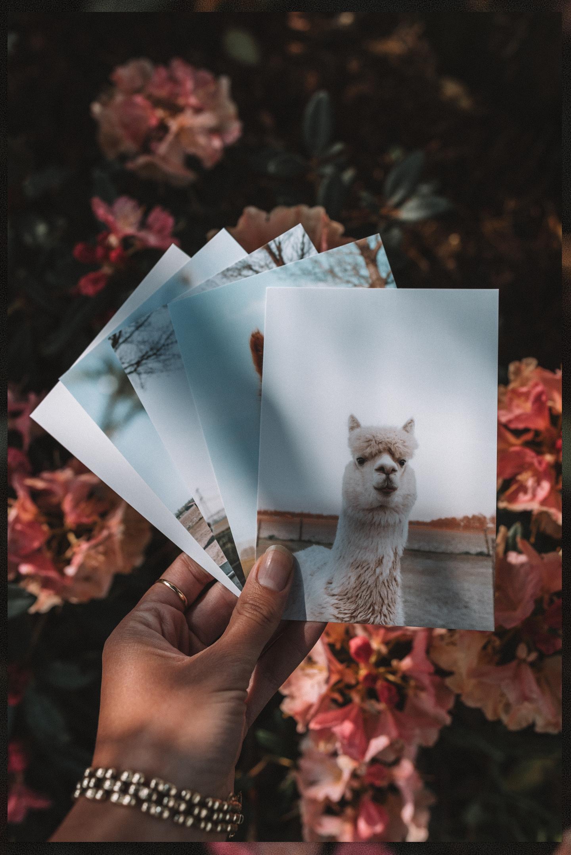 Alpaca postkaarten set te koop