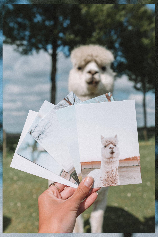 Alpaca postkaarten set