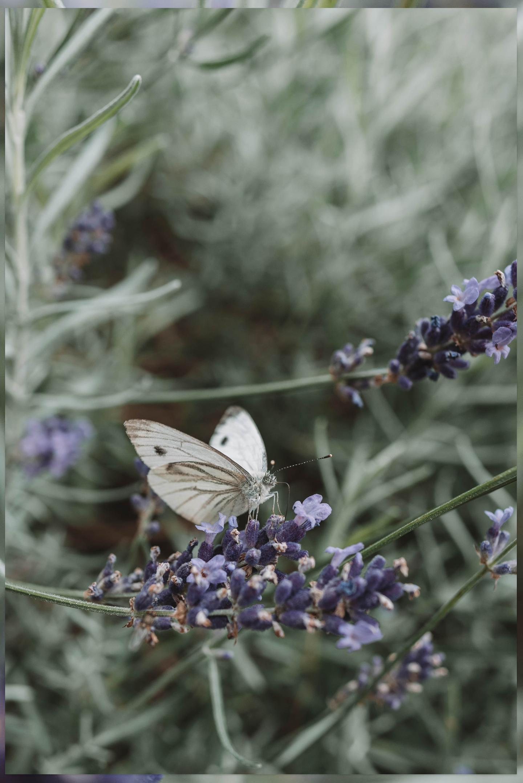 vlinder lavendel Linda's Wholesome Garden