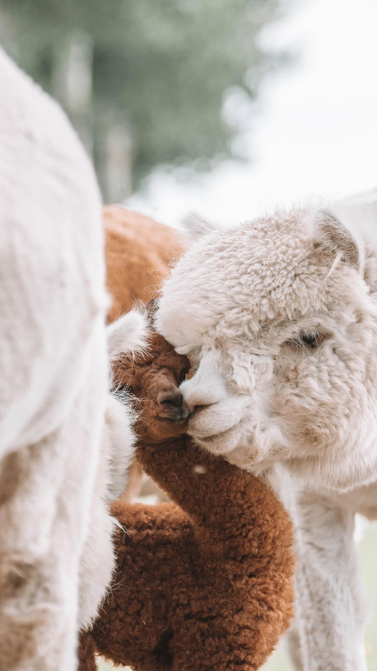 Alpaca cria 24 uur oud
