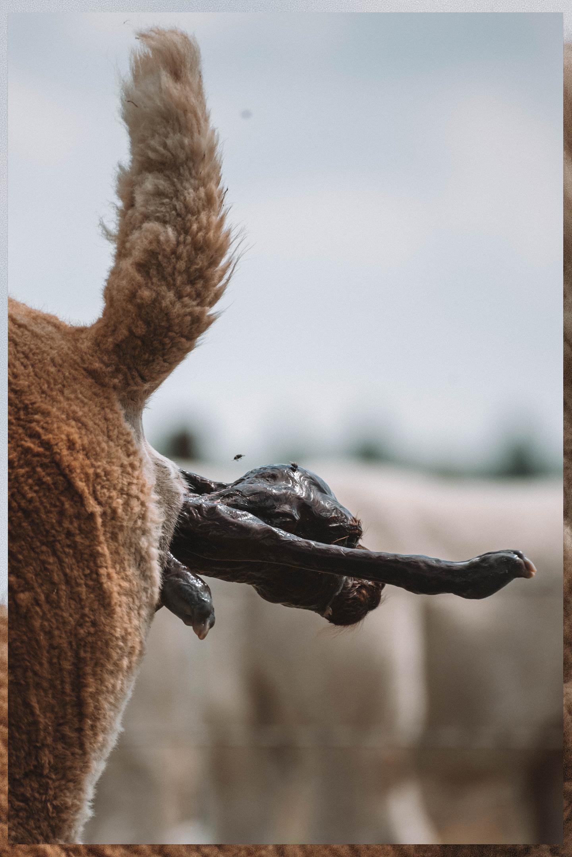 De geboorte van een alpaca cria