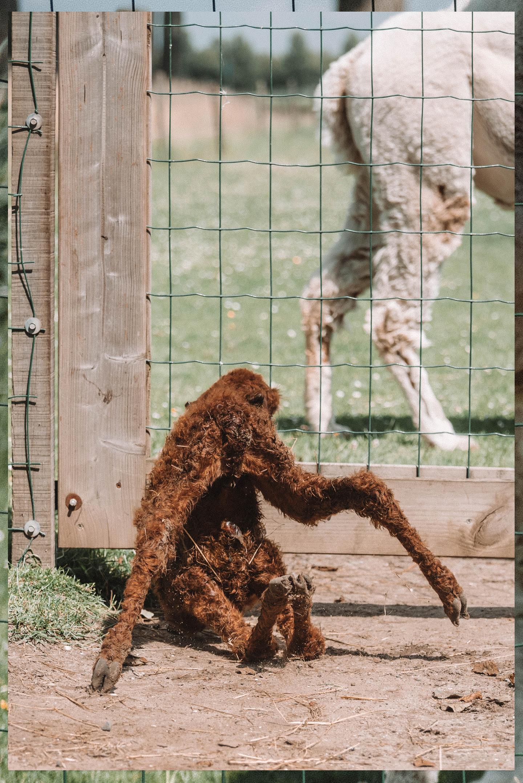 alpaca jong veulen cria
