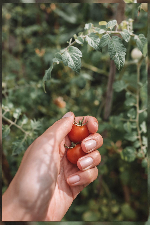 Cherry tomaten oogst