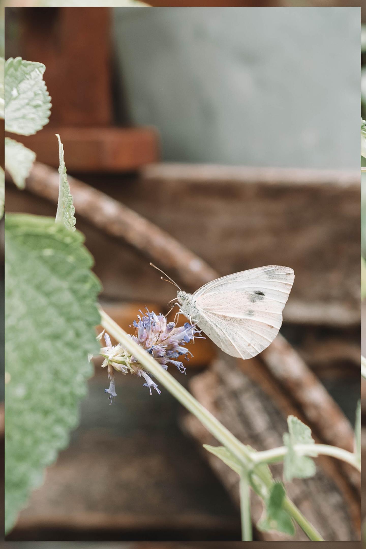 Vlinder munt in bloei